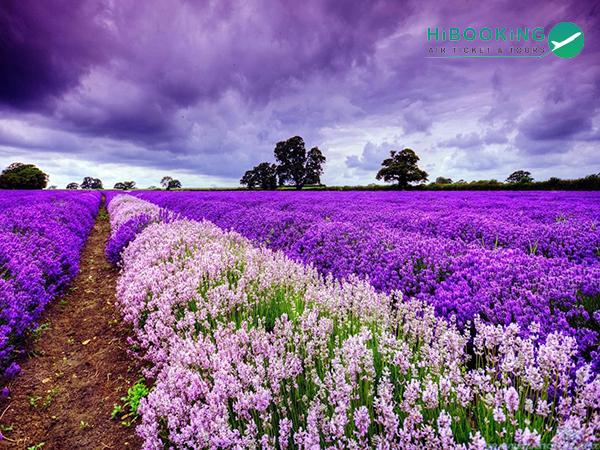 Ngây ngất với vẻ đẹp của cánh đồng hoa Lavender quyến rũ mọi du khách